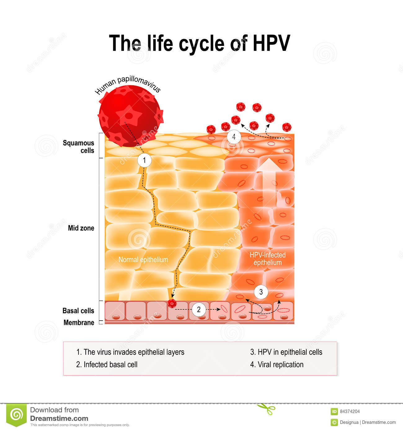 life cycle of hpv virus